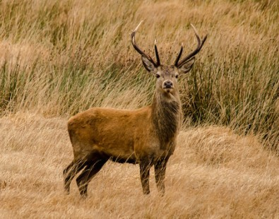 A red deer on Exmoor spotted on a Carter Company walking holiday