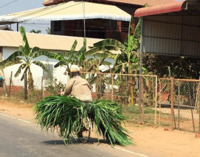 A man cycles in Cambodia with a bicycle piled high with building materials such as palm leaves