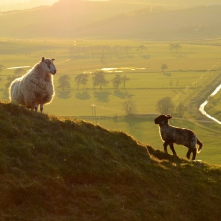 Sheep on a hill side - join our heard and working for us