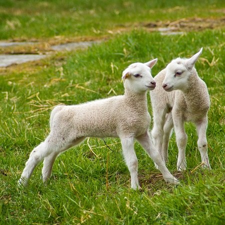new cycling and walking holidays in the UK and Europe as represented by new born lambs