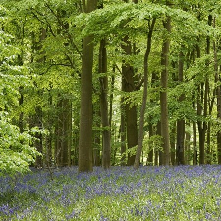 Bluebells in The Chilterns on our Ramble with Rumsey's walking and chocolate-making weekend