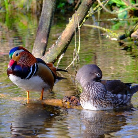 mandarin duck on the canal on a Carter Company family cycle tour in the Chilterns with our hallmark gentle and traffic free cycling