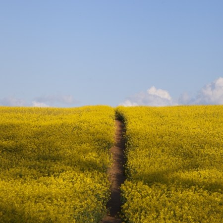 Walking holiday in the Cotswolds and Stratford - rapeseed fields
