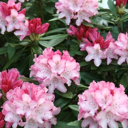 Pink rhodedendrons on our cycling holiday exploring the best gardens of the Cotswolds