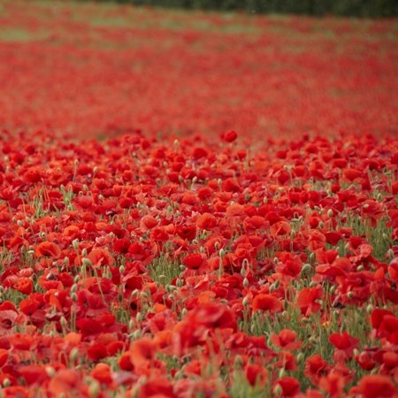 Poppy fields in Kent on our Garden of England tour by bicycle