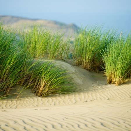 Grass growing on a white sand dune on the Curonian Spit - Lithuania cycling holiday