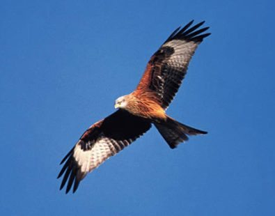A red kite flying in The Chiltern Hills - visit this area on The Carter Company's walking holidays or cycling tours